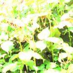 mangostan.jpg