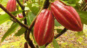 Cocoa-beans