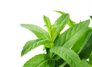 Peppermint If You Want To Lose Weight